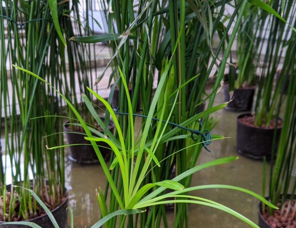 Cyperus im Beet. Sortiment an Hydropflanzen.