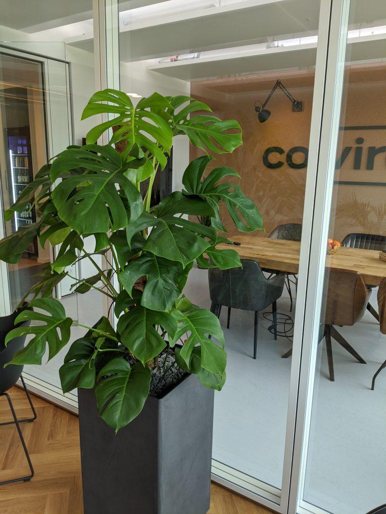 Monstera in Hydrokultur als Bürobefplanzung