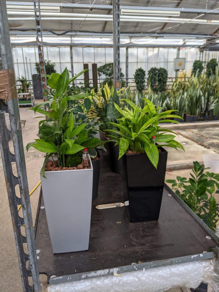 Büropflanzen in Hydrokultur auf dem Container vor der Auslieferung