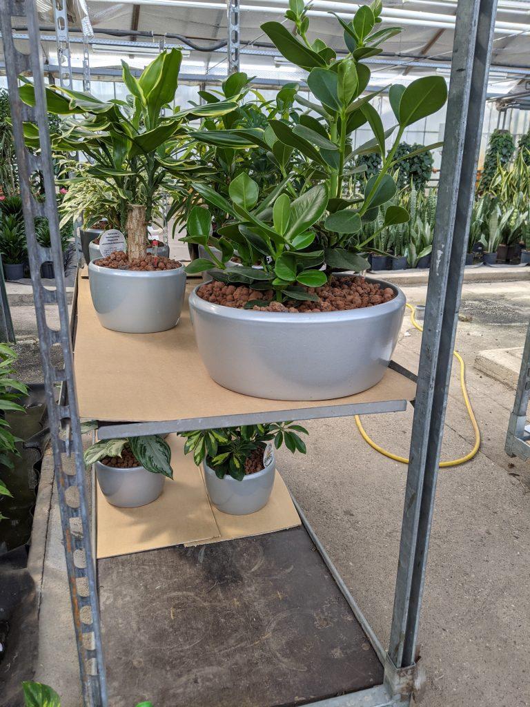 Büropflanzen in Hydrokultur im Gewächshaus